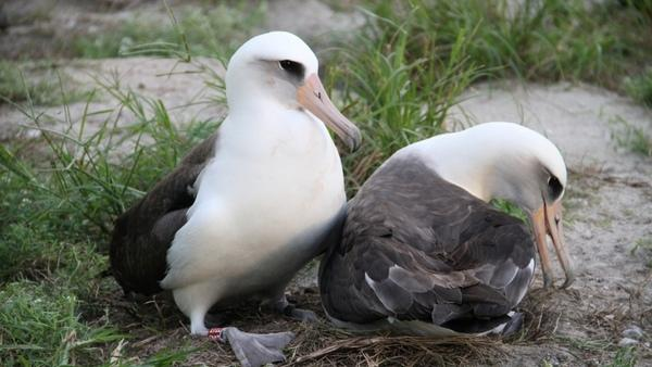Oldest Known Wild Bird Hatches Healthy Chick