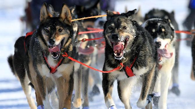 Lead dogs on the team of Louie Ambrose run during the ceremonial start of the Iditarod Trail Sled Dog Race Saturday, March 2, 2013, in Anchorage, Alaska. The competitive portion of the 1,000-mile race is scheduled to begin Sunday in Willow, Alaska. (AP Photo/Dan Joling)