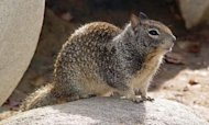 Plague-Infected Squirrel Discovered Near LA