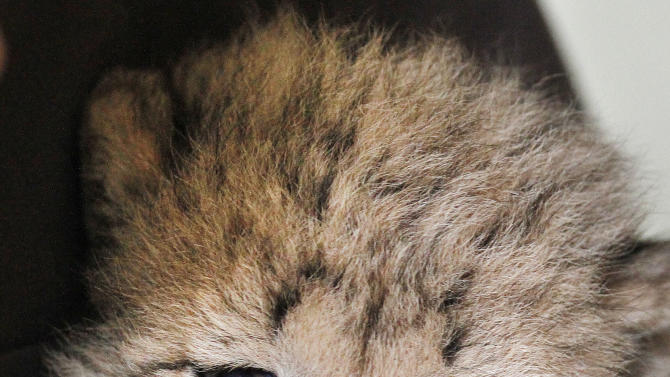 After a feeding, cheetah keeper Gil Myers cleans a one-month-old female cheetah cub, that was delivered via a rare caesarean section, Wednesday, May 23, 2012, at the National Zoo in Washington. The cub and her brother are expected to go on public display in the late summer. (AP Photo/Jacquelyn Martin)