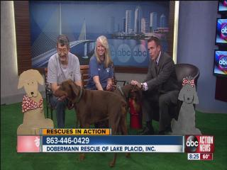 ABC Action News: Weekend Edition: Rescues in Action from the Doberman Rescue