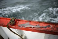 A baby shark is seen aboard the Whitby Rose in the North Sea, off the coast of Whitby, northern England February 28, 2013. REUTERS/Dylan Martinez