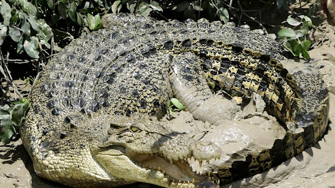 FILE - In this Oct. 15, 2005 file photo, a 4.5 meter (13.5 foot) saltwater crocodile