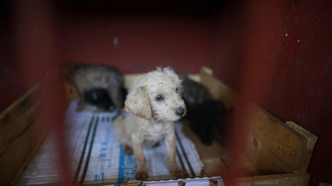A litter of puppies that was caught near the site of four fatal maulings sit inside a cage at a city dog pound in Mexico City,Wednesday, Jan. 9, 2013. Authorities have captured dozens of dogs near the scene of the attacks in the capital's poor Iztapalapa district, but rather than calm residents, photos of the forlorn dogs brought a wave of sympathy for the animals, doubts about their involvement in the killings and debate about government handling of the stray dog problem. (AP Photo/Dario Lopez-Mills)