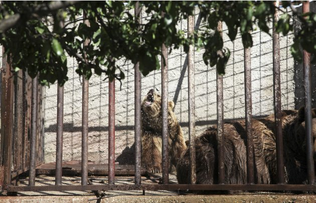 Bears are seen in a cage at a private zoo located next to a restaurant in the Kosovo town of Prizren