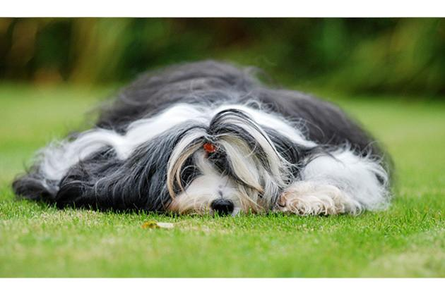 Tibetan Terrier — Inactively Athletic