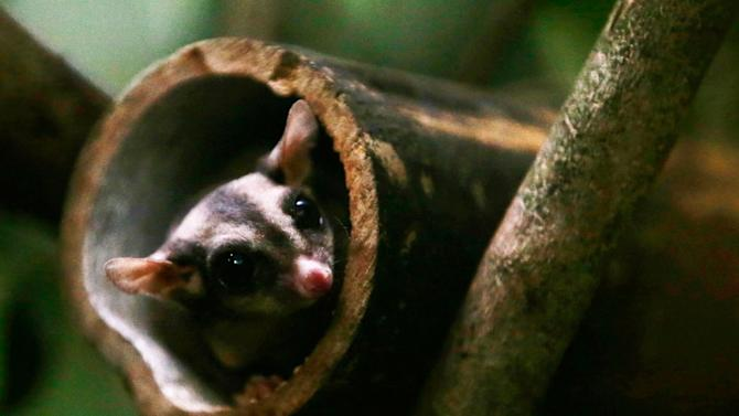 A Sugar Glider, Petaurus breviceps, looks out at visitors from a tree trunk inside its enclosure at the Night Safari in Singapore August 17, 2012. The Sugar Glider is part of the new Wallaby Trail exhibit which opened to the public on Friday. REUTERS/Tim Chong