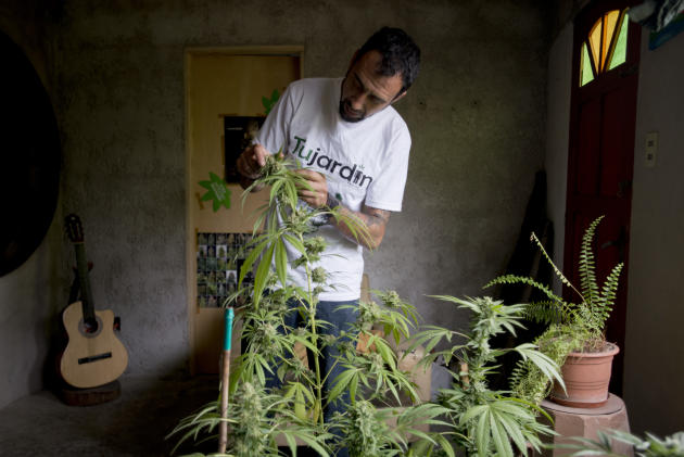 Marcelo Vazquez, a marijuana grower, checks the leaves of his marijuana plants for fungus, on the outskirts of Montevideo, Uruguay, Monday, Dec. 9, 2013. The Uruguayan Senate is expected to approve a