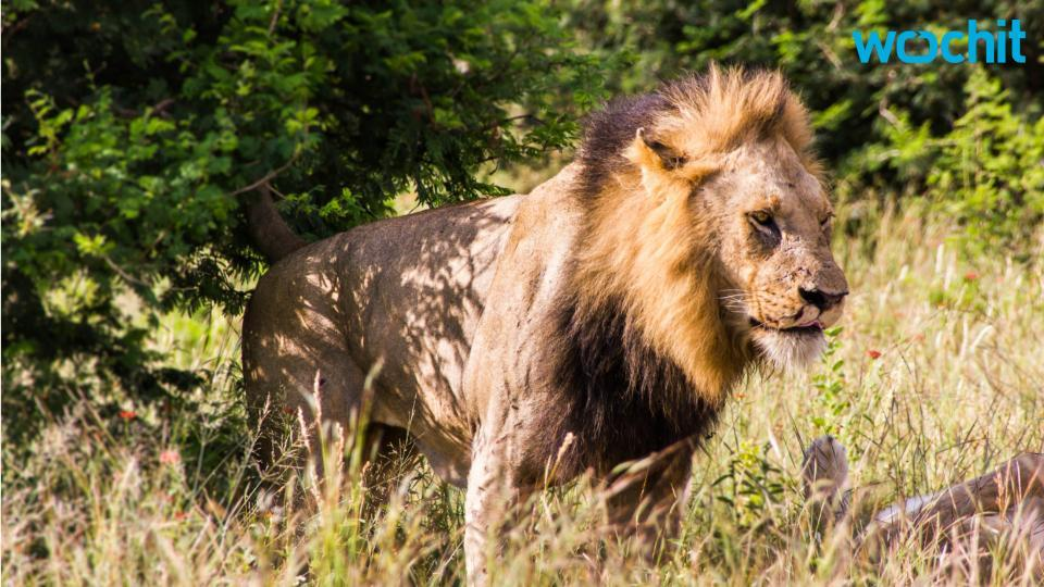 Lion kills American tourist driving in S. African park