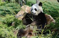 Yuan Zi, one of the two giant pandas which arrived last winter in France from China, is pictured, on August 23, at Beauval zoo in Saint-Aignan, central France. Like many French couples starting life together Huan Huan and Yuan Zi have moved into a new home, happily go about their daily business, and hopes are high for a baby, but nothing else is normal for the two pandas
