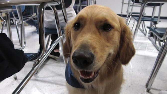 "In this Jan. 14, 2013 photo, Junie, a ""therapy dog"" at Prospect High School, sits in a classroom at the school in Mt. Prospect, Ill. The 18-month-old golden retriever is one way this school is trying to help students cope with a rise in stress, anxiety and panic attacks. Many say these issues are a problem in schools across the country. (AP Photo/Martha Irvine)"