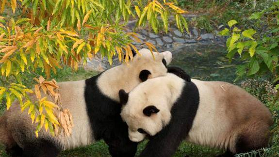 National Zoo Panda Cub Died of Lung and Liver Damage