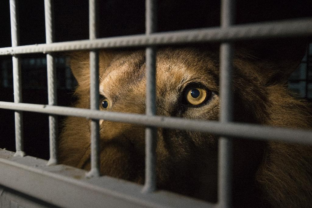 Rescued lions roar into South Africa after flight from Peru