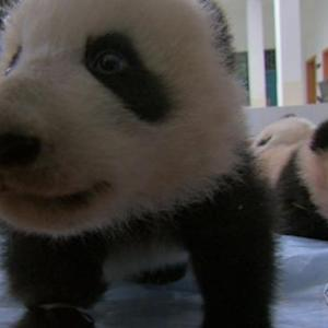 A giant leap for panda kind