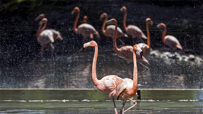 Pink flamingos are reflected in a mirror wall set by keepers in their enclosure at the zoo in Almaty