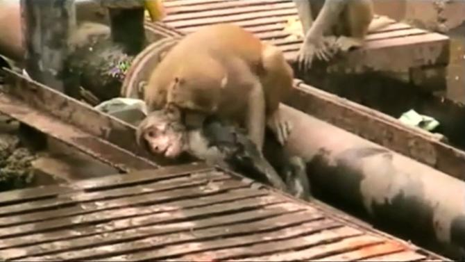 An still image taken from video shows a monkey biting another monkey who fell unconscious after being shocked by electrical wiring in India's northern city of Kanpur
