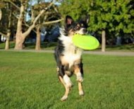 2020091023120045AustralianShepherdcatchingfrisbee
