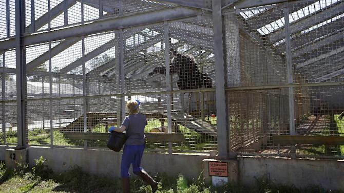 Adrienne Mrsny, an animal care specialist, feeds chimps in a section reserved for HIV infected chimps at Chimp Haven in Keithville, La., Tuesday, Feb. 19, 2013. One hundred and eleven chimpanzees will be coming from a south Louisiana laboratory to Chimp Haven, the national sanctuary for chimpanzees retired from federal research. (AP Photo/Gerald Herbert)