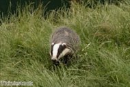 Critics prepare for fight after badger cull debate given go-ahead