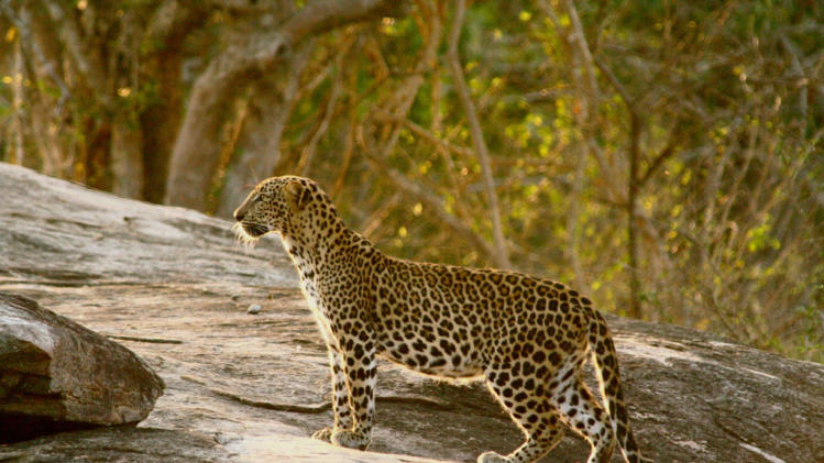 Night Stalkers: Leopard Battleground