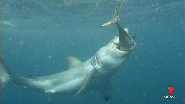 Debate rages over shark cull