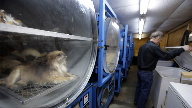 In this photo made Feb. 12, 2013, Anthony Eddy looks into a conventional freezer while a dog is preserved inside a freeze dryer in Slater, Mo. Animal lovers from across the country call on Eddy to faithfully preserve their beloved departed pets for posterity through a freeze-drying process that can take up to a year before they are painstakingly preserved and returned to their owners. (AP Photo/Jeff Roberson)
