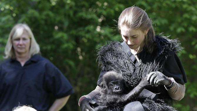 Ashley Chance holds a three-month-old Western Lowland gorilla named Gladys in the outdoor gorilla exhibit, Tuesday, April 30, 2013, at the Cincinnati Zoo in Cincinnati. The baby gorilla was born Jan. 29 at a Texas zoo to a first-time mother who wouldn't care for her. Zoo workers and volunteers are acting as surrogate mothers to prepare the baby to be introduced to two female gorillas at the Cincinnati Zoo who might accept her. Humans acting as surrogate mothers wear vests and materials to make them appear more like a gorilla. (AP Photo/Al Behrman)