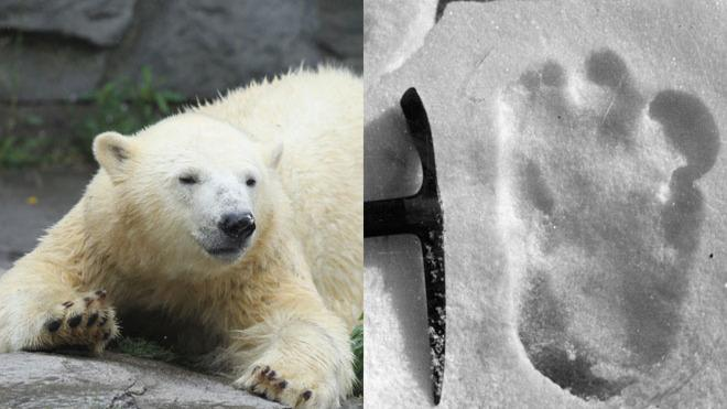 Those curious 'footprints' may have been made by a polar bear's cousin.