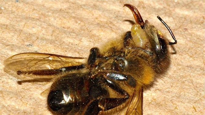 In this photo provided by San Francisco State University, the larvae of an Apocephalus borealis fly emerges from the dead body of a host honey bee. The A. borealis fly is suspected of contributing to the decrease in the honey bee population. Researchers say the fly deposits its eggs in the abdomen of honey bees and as the larvae grow within the body of the bee, the bee begins to lose control of its ability to think and walk, flying blindly toward light. It eventually dies and the fly larvae emerge. (AP Photo/John Hafernik, San Francisco State University)