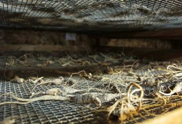 In this Sept. 18, 2012, photo wild ginseng root dries at Buckhorn Ginseng, in Richland Center, Wis. Police say more and more people are combing the woods from the upper Mississippi River to Appalachia searching for the increasingly rare plant as prices soar and the economy sputters. (AP Photo/Carrie Antlfinger)