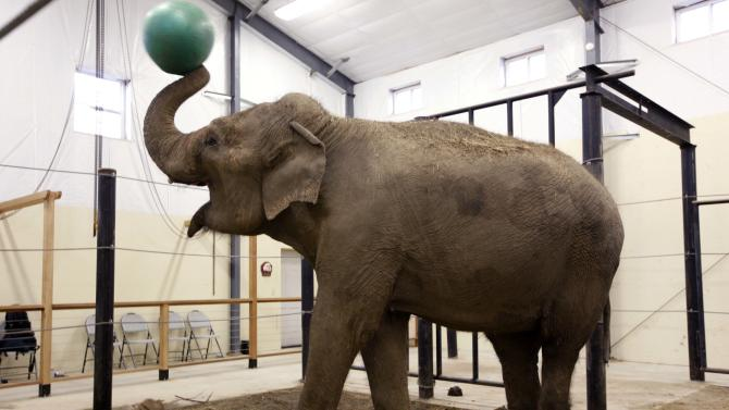 In this photo made Tuesday, Nov. 13, 2012, a retired circus elephant plays with a yoga ball at Hope Elephants, a not-for-profit rehabilitation and educational facility in Hope, Maine. In Maine, a state known for moose and lobsters, two Asian elephants have found themselves a new home. (AP Photo/Robert F. Bukaty)