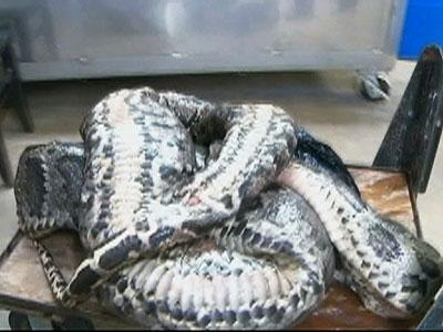 Huge python caught in Florida Everglades