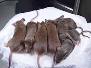 Immortal Line of Cloned Mice Created