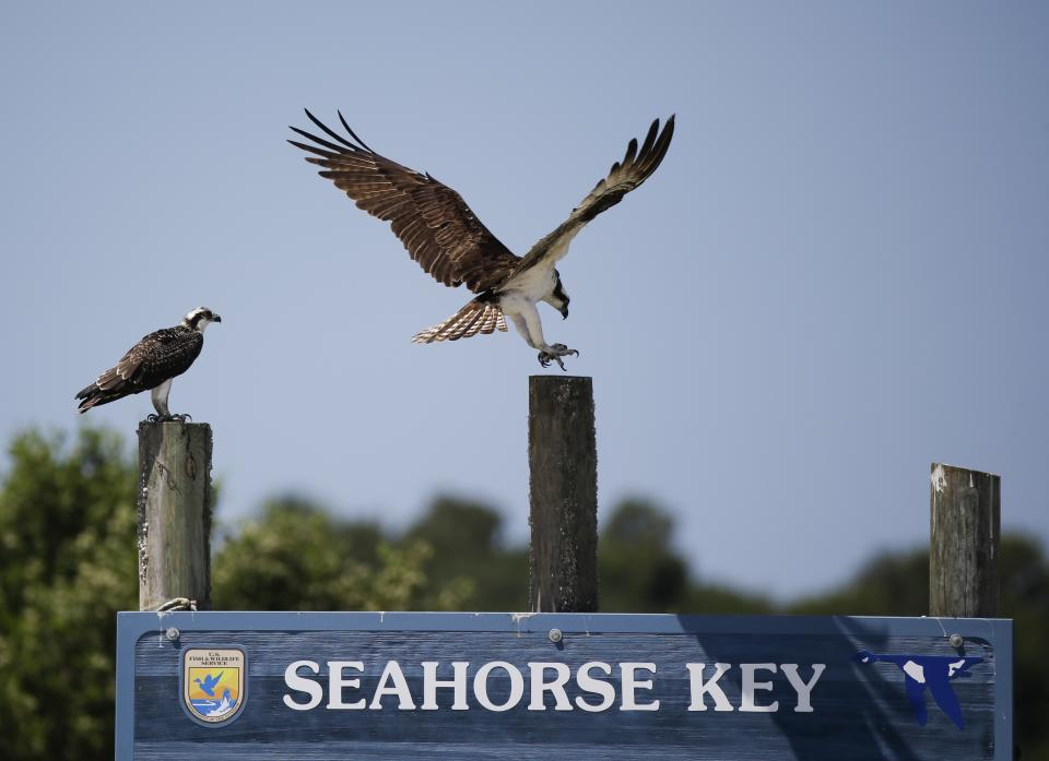 In this Friday, June 19, 2015 photo, several ospreys perch on a signpost  at Seahorse Key, Fla.  off Florida's Gulf Coast. In May, Seahorse Key fell...