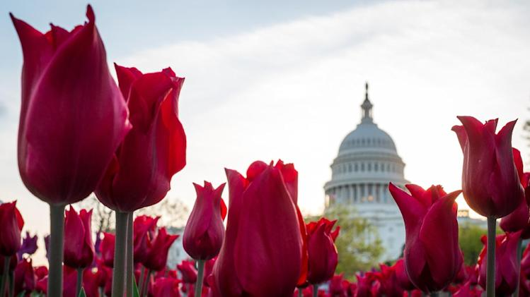 In this April 22, 2014, photo, tulips bloom in front of the Capitol in Washington. Congress gets back to work Monday, April 28, after a two-week vacation, and it's looking like lawmakers will do what they do best: the bare minimum. Forget immigration, a tax overhaul, stiffer gun checks. They're all DOA. Raising the minimum wage or restoring lost unemployment benefits? Not going to happen. Forcing government approval of the Keystone XL pipeline? Veto bait. (AP Photo/J. David Ake)