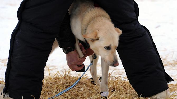 Matt Giblin puts booties on leader Kenya before leaving the Finger Lake checkpoint in Alaska during the Iditarod Trail Sled Dog Race on Monday, March 4, 2013. (AP Photo/The Anchorage Daily News, Bill Roth)