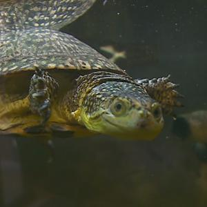Blanding's Turtle Might Be Added To Federal Endangered List