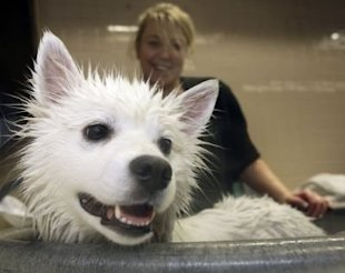 AP Photo/Frank Franklin II: Sassy, an America Eskimo dog, is bathed by owner Cathy Hammer at the Pennsylvania Hotel before the Westminster dog show.