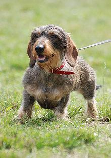 Dachshunds need an active lifestyle