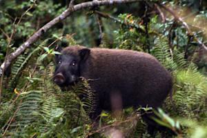 Feral Pigs Going Hog-Wild in US