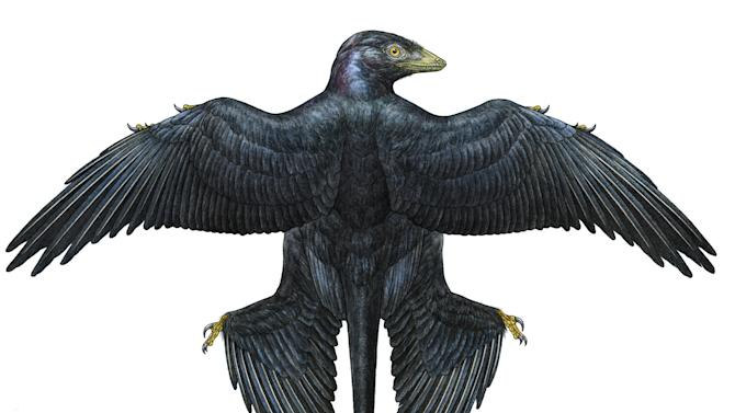 This undated handout artist illustration provided by the American Museum of Natural History, shows a Microraptor, based on a fossil from 130 million years ago found in China. It indicates that the dinosaur _ it is a dinosaur even though it looks like  a bird _ had glossy black feathers. (AP Photo/Mick Ellison, American Museum of Natural History, Science /AAAS)