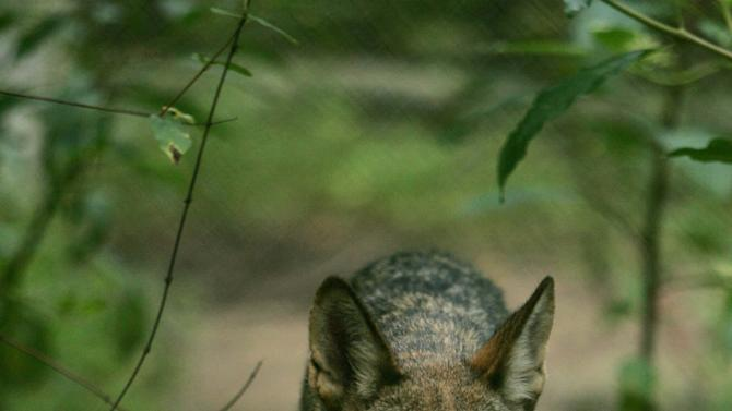 Handout of a red wolf walking in the Alligator River National Wildlife Refuge in North Carolina