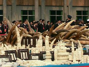 Hong Kong to Destroy More Than 30 Tons of Ivory