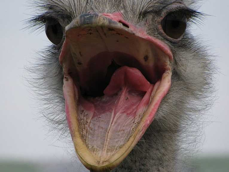 768px Ostrich,_mouth_open