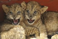 These two-month-old lion cubs, in quarantine at the Kenya Wildlife Service, were rescued after wildlife rangers were forced to shoot dead the cubs' mother after it was spotted in Nairobi's Karen suburb and it charged before it could be darted