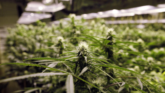 Marijuana plants flourish under the lights at a grow house in Denver, Thursday, Nov. 8, 2012. Marijuana legalization votes this week in Colorado and Washington state don't just set up an epic state-federal showdown on drug law for residents. The measures also opens the door for marijuana tourism.(AP Photo/Ed Andrieski)