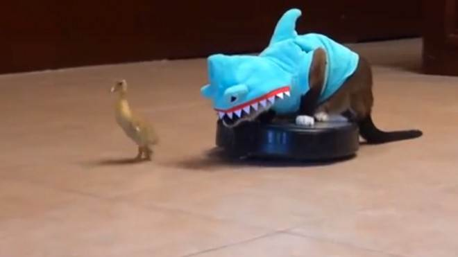 This is a cat in a shark costume sitting on a rumba and chasing a duckling. You're welcome.