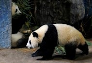 Thailand's first giant panda cub Linping (front) walks past her mother Lin Hui at an enclosure at Chiang Mai zoo in 2010. After three years of following her every move, a Thai broadcaster has pulled the plug on one of the kingdom's most-loved but lethargic reality TV celebrities -- a giant panda