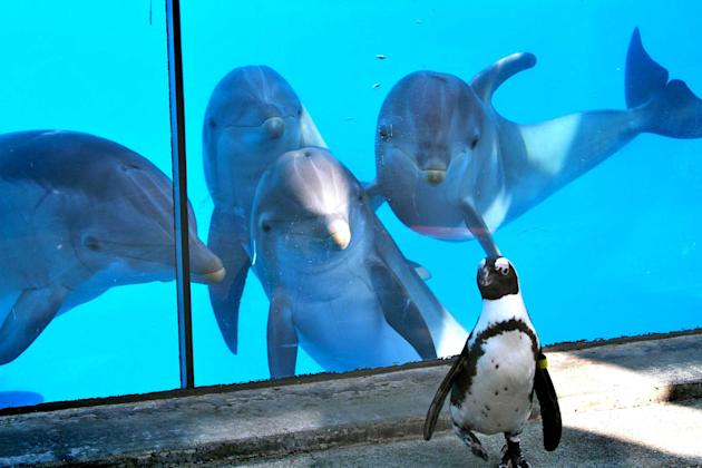 A school of dolphins become fascinated by a single penguin at Six Flags Discovery Kingdom, in California. Fozzie, the African penguin, was busy minding his own business when his antics suddenly became