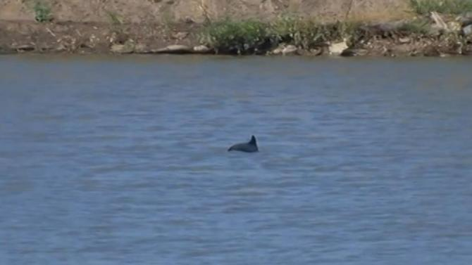 Harbor porpoise spotted swimming in Napa River